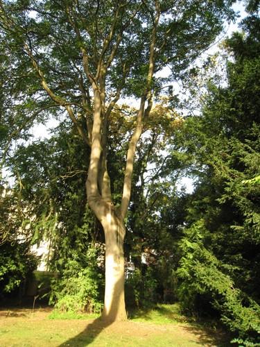 Ailante glanduleux – Bruxelles, Avenue Ferdauci, 22-26 –  16 Septembre 2011