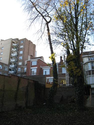 Merisier – Schaerbeek, Boulevard Lambermont, 184-186 –  28 Novembre 2011