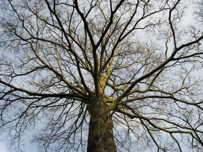 Erable sycomore – Ixelles, Rue Général Patton, 42 –  11 Janvier 2012