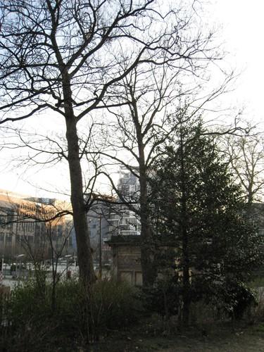 Gewone esdoorn – Brussel, Leopoldpark –  01 February 2012