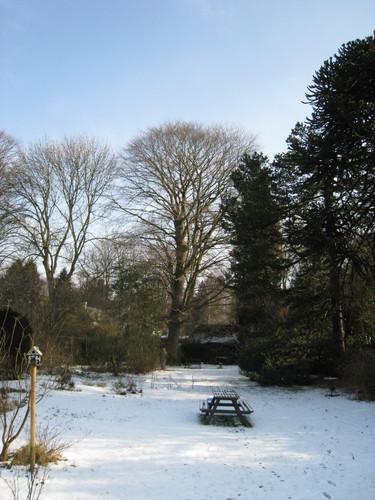 Hêtre pourpre – Uccle, Avenue Hamoir, 45 –  08 Février 2012
