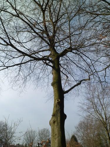 Hêtre d'Europe – Uccle, Avenue du Fort-Jaco, 46 –  27 Février 2012