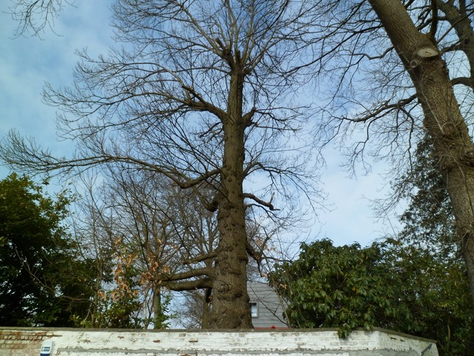 Châtaignier – Uccle, Avenue du Fort-Jaco, 46 –  27 Février 2012