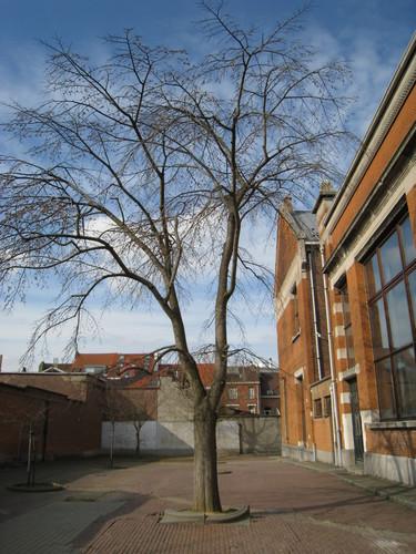 Ulmus glabra 'Pendula' – Schaarbeek, Roodebeeklaan, 61 –  20 Maart 2012