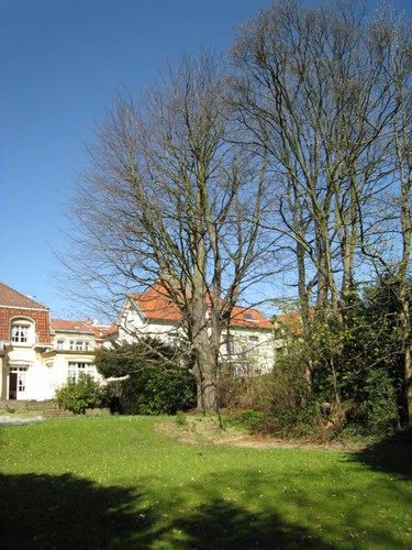 Hêtre pourpre – Woluwé-Saint-Lambert, Avenue Marie-José, 127 –  26 Mars 2012
