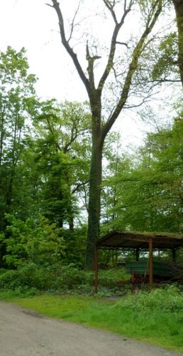 Frêne commun – Uccle, Hippodrome de Boitsfort –  08 Mai 2012