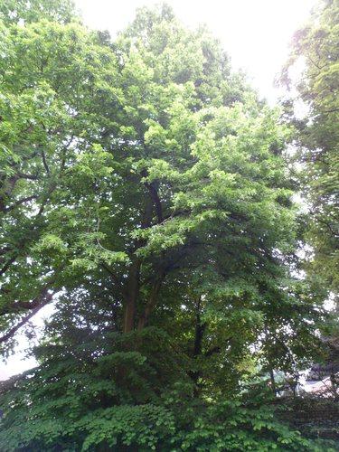 Tilleul à larges feuilles – Bruxelles, Chaussée de Waterloo, 880 –  01 Juin 2012