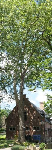 Platane à feuille d'érable – Molenbeek-Saint-Jean, Parc du Karreveld  –  19 Mai 2020