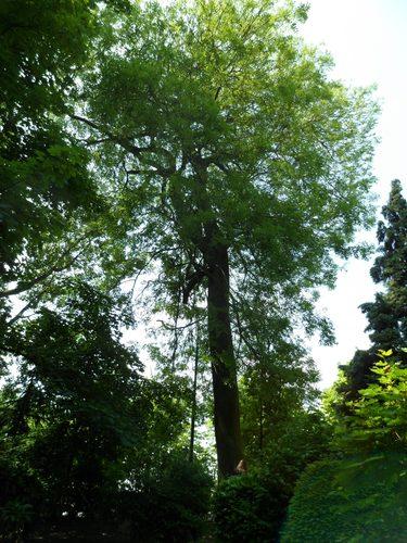 Frêne commun – Molenbeek-Saint-Jean, Parc du Karreveld , Boulevard Louis Mettewie –  30 Mai 2012