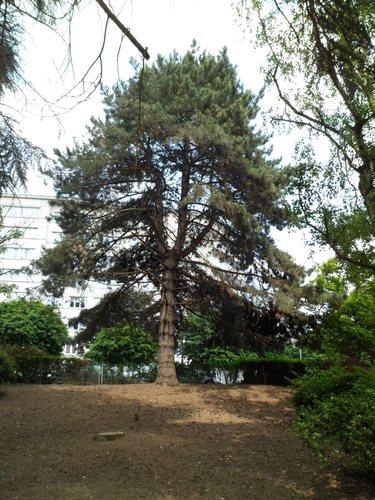 Pin noir – Molenbeek-Saint-Jean, Parc du Karreveld  –  30 Mai 2012