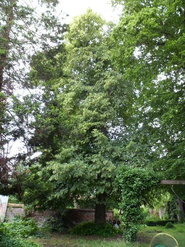 Tilleul à larges feuilles – Koekelberg, Avenue de la Liberté, 8 –  11 Juin 2012