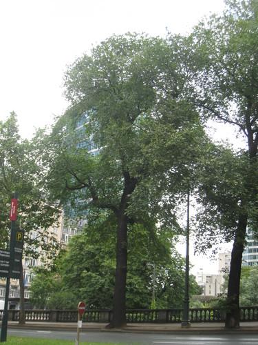 Orme champêtre<br>Bruxelles Boulevard du Jardin Botanique