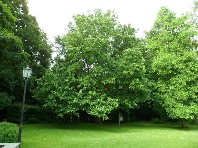 Magnolier à feuilles acuminées<br>Woluwé-Saint-Lambert Parc Malou