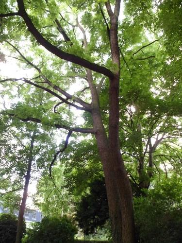 Noyer noir – Uccle, Parc Montjoie –  22 Août 2012