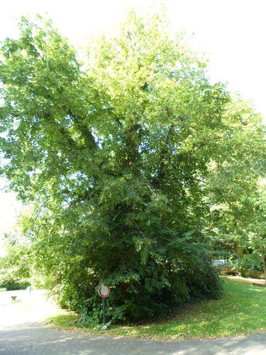Tilleul commun – Watermael-Boitsfort, Parc de la Royale Belge, Boulevard du Souverain, 25 –  31 Août 2012