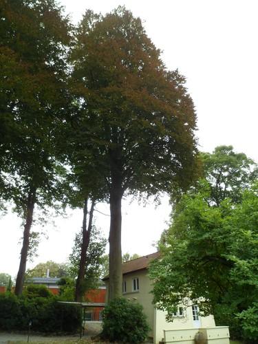 Hêtre pourpre – Uccle, Avenue des Sorbiers, 3 –  18 Septembre 2012