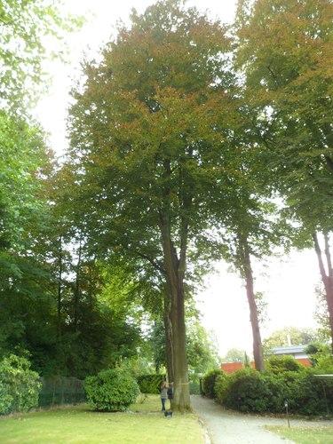 Rode beuk – Ukkel, Lijsterbessebomenlaan, 3 –  18 September 2012