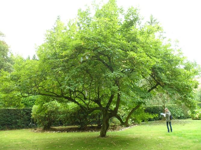 Magnolier de Soulange – Uccle, Avenue des Sorbiers, 3 –  18 Août 2012