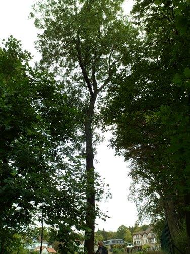 Frêne commun – Uccle, Avenue des Sorbiers, 3 –  18 Septembre 2012