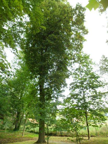 Tilleul du Caucase – Uccle, Avenue des Sorbiers, 3 –  18 Septembre 2012