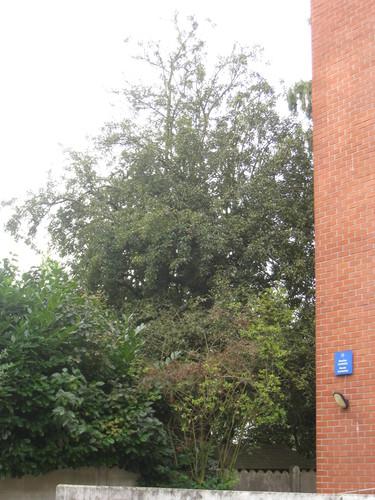 Poirier cultivé – Woluwé-Saint-Lambert, Chaussée de Roodebeek, 338 –  21 Septembre 2012