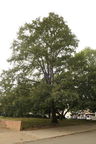 Chêne à feuilles de châtaignier<br>Jette Avenue Joseph De Heyn