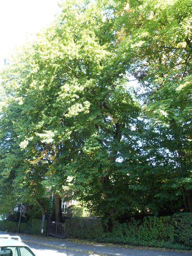 Gewone haagbeuk – Ukkel, Park van de Bloemenwerf villa, Vanderaeylaan, 102 –  28 September 2012