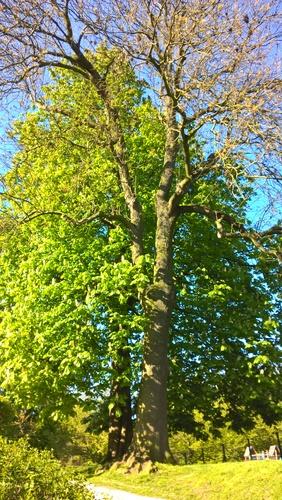 Frêne commun – Forest, Parc Jupiter –  04 Mai 2016