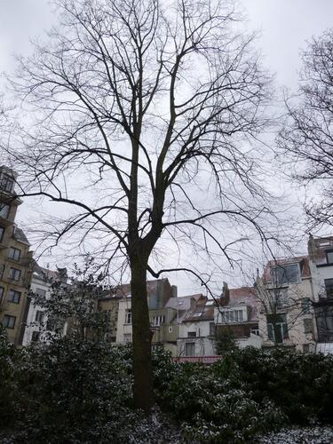 Hollandse linde – Brussel, Renaissancelaan, 52 –  11 Maart 2013