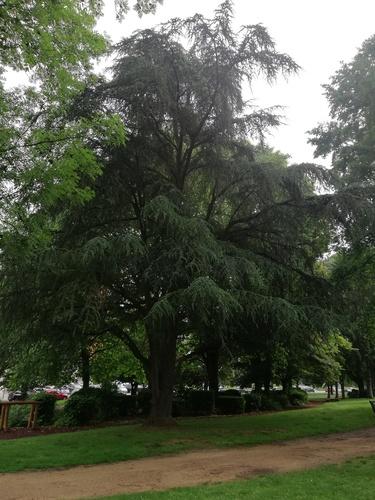 Blauwe ceder – Jette, Jeugdpark, Graafschap Jettelaan –  07 Juni 2018