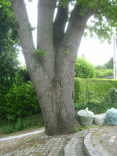 Chêne pédonculé – Uccle, Avenue d'Orbaix, 25 –  12 Juin 2013