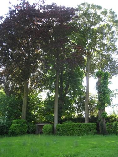Hêtre pourpre – Ixelles, Avenue du Bois de la Cambre, 218 –  06 Juin 2013
