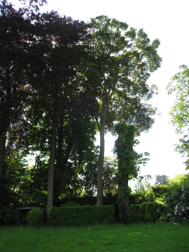 Erable sycomore – Ixelles, Avenue du Bois de la Cambre, 218 –  06 Juin 2013