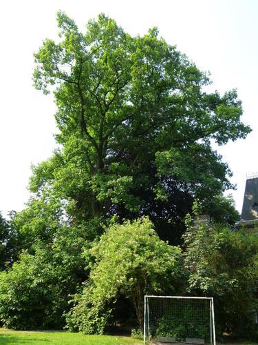 Amerikaanse eik – Etterbeek, Pater Eudore Devroyestraat, 29 –  26 Juni 2013