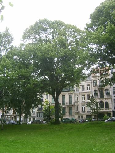 Tilleul argenté – Ixelles, Etangs d'Ixelles, Avenue des Klauwaerts –  04 Juillet 2013