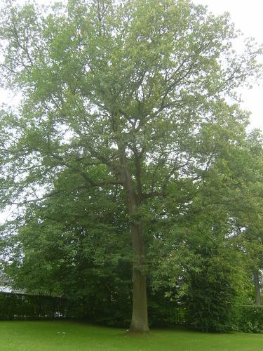 Chêne sessile – Woluwé-Saint-Pierre, Clos des Essarts, 9 –  11 Juillet 2013