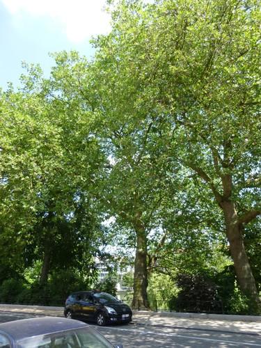 Platane à feuille d'érable – Ixelles, Etangs d'Ixelles, Avenue du Général de Gaulle –  18 Juillet 2013
