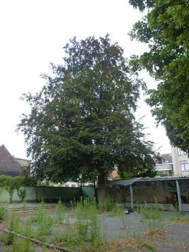 Hêtre pourpre – Saint-Josse-Ten-Noode, Rue de la Poste, 91 –  24 Juillet 2013
