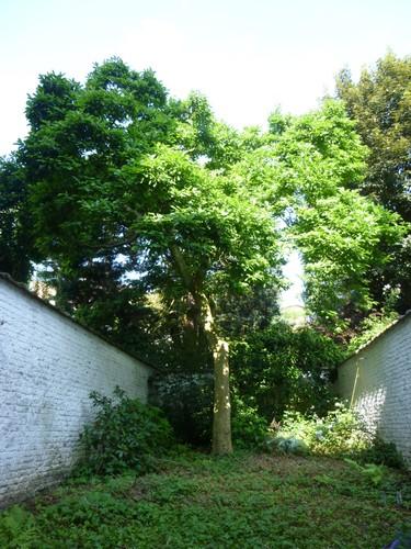 Magnolier de Soulange – Uccle, Rue Général Mac Arthur, 37 –  25 Juillet 2013