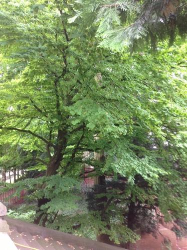 Katsura du Japon<br>Bruxelles Jardin de la Tour Japonaise Rue Jules Van Praet