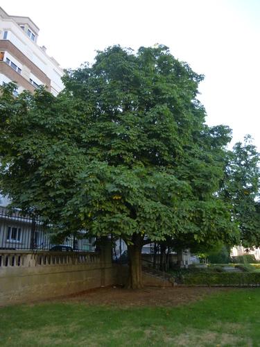 Marronnier jaune<br>Saint-Josse-Ten-Noode Square Armand Steurs Square Armand Steurs