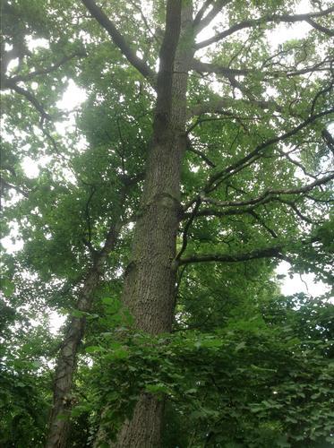 Quercus sp<br>Watermael-Boitsfort Rue du Loutrier, 69