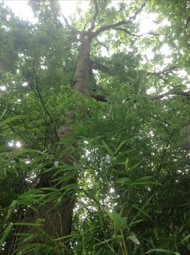 Quercus sp – Watermael-Boitsfort, Rue du Loutrier, 69 –  20 Août 2013