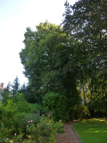 Tilleul à larges feuilles – Uccle, Avenue Fond'Roy, 126 –  03 Septembre 2013