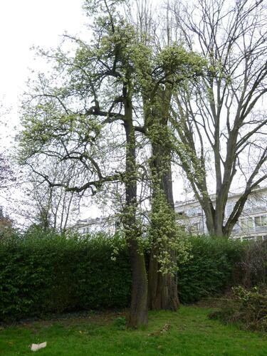 Poirier cultivé – Bruxelles, Avenue de Meysse, 1 –  23 Avril 2013