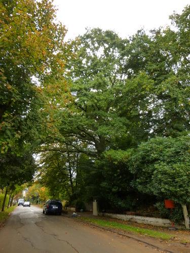 Chêne pédonculé – Uccle, Rue de Percke, 70 –  04 Octobre 2013