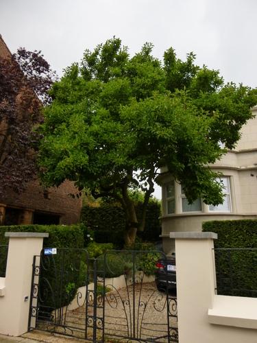 Magnolier de Soulange – Watermael-Boitsfort, Avenue Léopold Wiener, 114 –  09 Septembre 2013