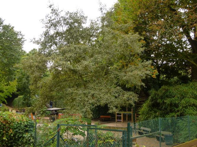 Alnus glutinosa var. imperialis – Saint-Gilles, Parc Pierre Paulus, parc public –  15 Octobre 2013