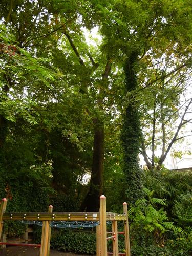 Noyer noir – Saint-Gilles, Parc Pierre Paulus, parc public –  15 Octobre 2013