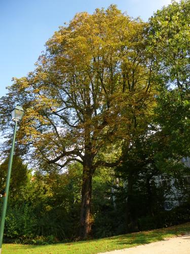 Marronnier commun – Saint-Gilles, Parc Pierre Paulus, parc public –  15 Octobre 2013